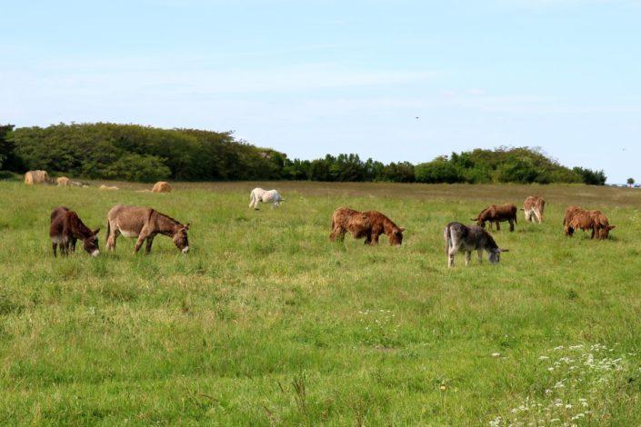 Les ânes de l'île de Ré