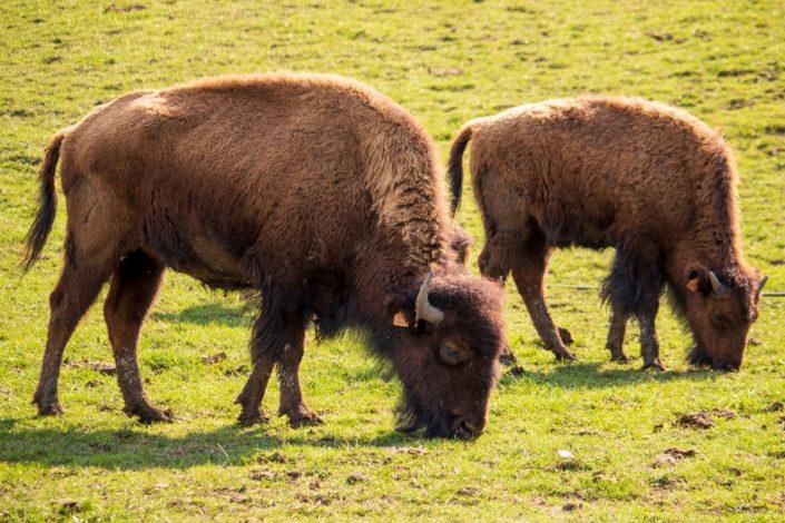 Les bisons de la ferme des Prés Lauzés, Méaudre